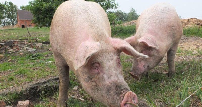 Peste porcine africaine : l'inquiétude monte en Europe