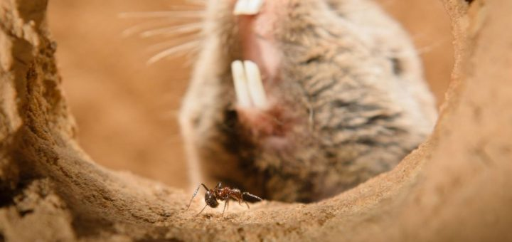 Les rats-taupes Highveld (rat-taupe nu) sont insensibles à la douleur grâce à l'évolution