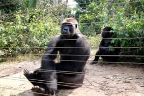 Un gorille 'avale' près de 17 000 dollars dans un Zoo et prend la fuite !