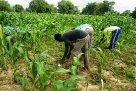 Banamba : Situation de la campagne agricole du cercle