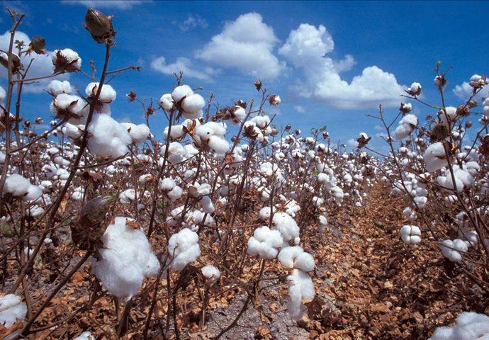 Journée mondiale du coton à l'OMC : le coton africain toujours prisonnier des subventions
